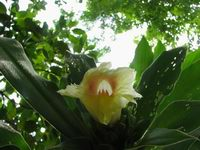 Costus guanaiensis  at Mastatal, Costa Rica inflorescence - Click to see full sized image