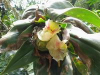 Costus guanaiensis  at Parque Nacional Tapanti, Costa Rica inflorescenceof plant believed to be - Click to see full sized image