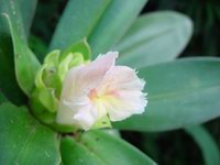 Costus guanaiensis near Rincon, Osa Peninsula, Costa Rica  - Click to see full sized image