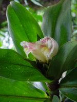 Costus guanaiensis at Wilson Botanical Garden, Costa Rica  - Click to see full sized image
