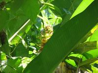 Costus guanaiensis near Cabrachi in SE Costa Rica possibly - Click to see full sized image