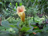 Costus guanaiensis at Lyon Arboretum, Oahu, Hawaii  (located area 1V)  - Click to see full sized image