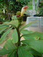 Costus guanaiensis 'Sweet Charlotte' -  terminal bloom - Click to see full sized image