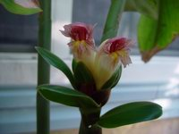 Costus guanaiensis 'Sweet Charlotte' -   basal bloom - Click to see full sized image