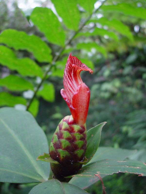 Photo# 10994 - Costus laevis at Wilson Botanical Garden, Costa Rica