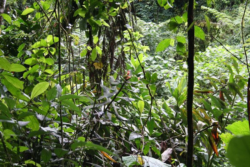 Photo# 12389 - Costus laevis  at Poco Sol, Costa Rica