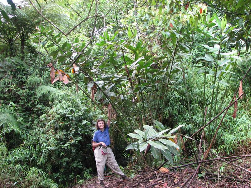Photo# 12390 - Costus laevis  at Poco Sol, Costa Rica Mature, very large plant