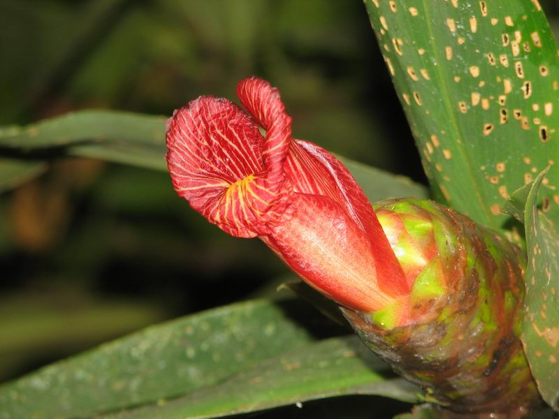 Photo# 12396 - Costus laevis  at Quebrada Grande, La Cangreja, Costa Rica normal red flowering form