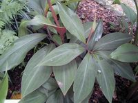 Costus laevis - Click to see full sized image