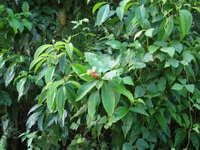 Costus laevis on trail near Mogos, Osa Peninsula, Costa Rica  - Click to see full sized image