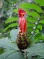 Costus laevis at Wilson Botanical Garden, Costa Rica  - Click to see full sized image