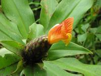 Costus laevis  at Leo's Place, Mastatal, Costa Rica orange flowering form - Click to see full sized image