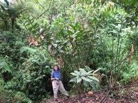 Costus laevis  at Poco Sol, Costa Rica Mature, very large plant - Click to see full sized image