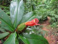 Costus laevis  at Leo's Place, Mastatal, Costa Rica normal red flowering form - Click to see full sized image