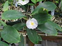 Costus sp. possibly letestui syn. of C. lateriflorus - Click to see full sized image