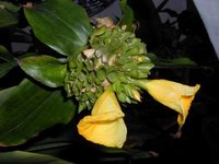 Costus lucanusianus - Yellow Form at Smithsonian US Bot. Research Greenhouse, Washington, DC  - Click to see full sized image