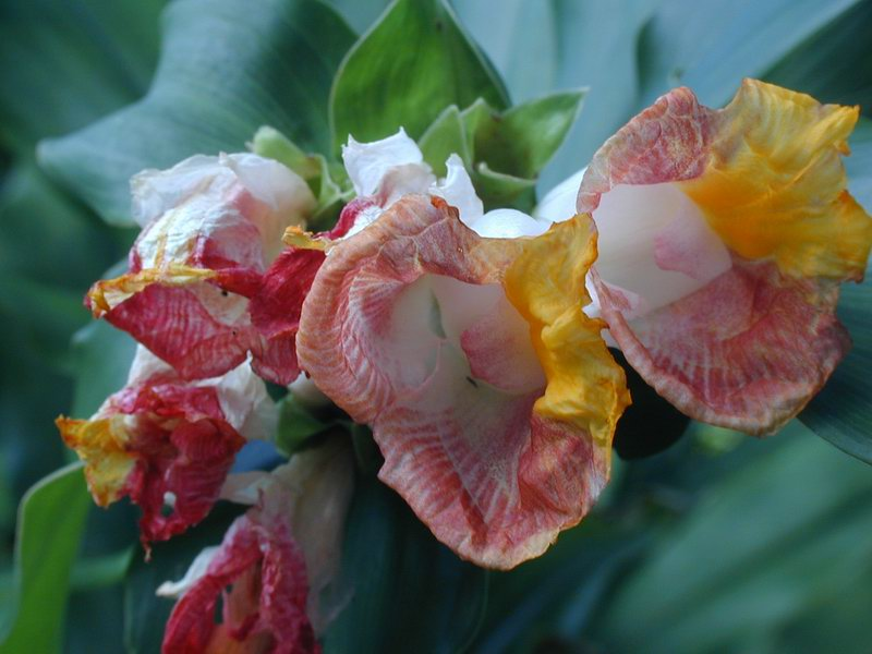 Photo# 11178 - Costus lucanusianus at Fairchild Tropical Gardens, Miami, FL