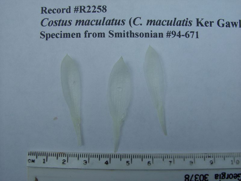 Photo# 11213 - Costus maculatus syn. of C. dubius,  USBRG#94-671  - corolla lobes