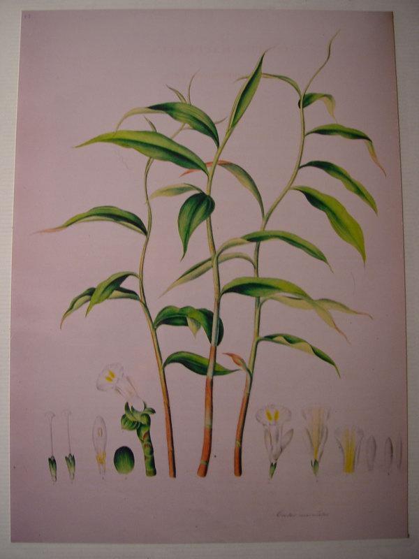 Photo# 11237 - Costus maculatus syn. of C. dubius, from Tom Wood's prints William Roscoe print