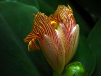 Costus malortieanus - Click to see full sized image