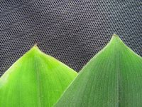 Costus malortieanus  leaf apex - Click to see full sized image