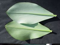 Costus malortieanus  Abaxiial side of leaves - Click to see full sized image
