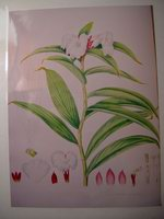 Costus nepalinense from Tom Wood's prints William Roscoe print - Click to see full sized image