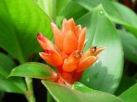Costus osae - Click to see full sized image
