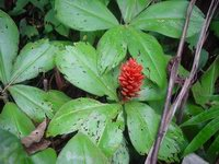 Costus osae on trail near La Gamba Biological Research Station, Costa Rica  - Click to see full sized image