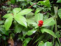Costus osae along upper Rio Bonito near La Gamba Biological Research Station, Costa Rica  - Click to see full sized image