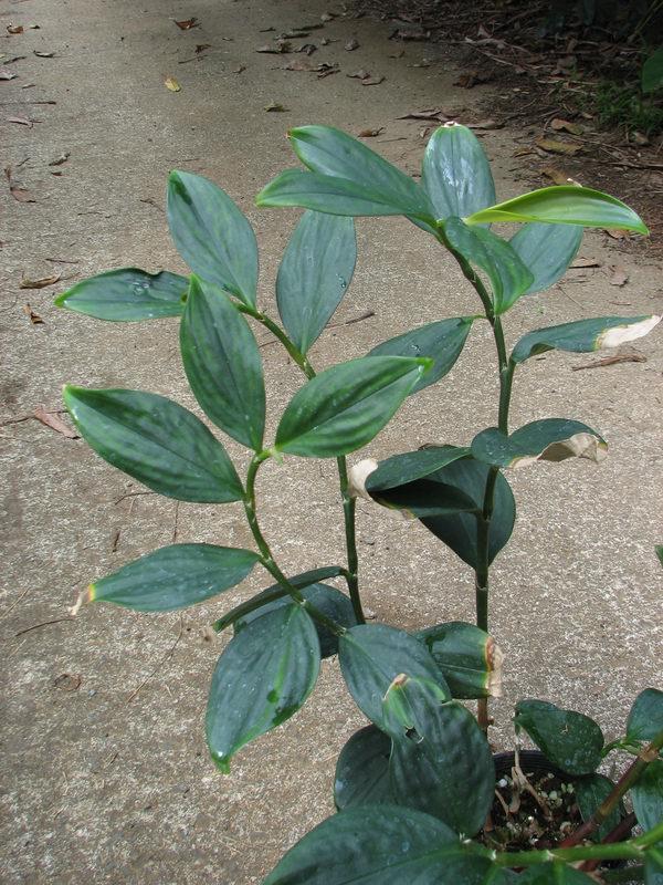 Photo# 12720 - Paracostus paradoxus at Lyon Arboretum, Oahu, Hawaii  #95.0367