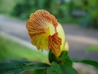 Costus pictus - Click to see full sized image