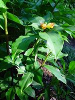 Costus pictus (broad leaf, red stem form) - Click to see full sized image