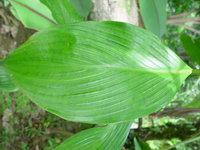 Costus plicatus at La Gamba Biological Research Station, Costa Rica leaf - Click to see full sized image