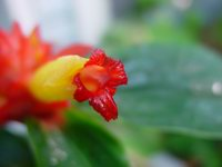 Costus aff. productus 'Emerald Chalice' - Click to see full sized image