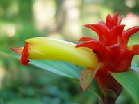 Costus aff. productus 'Maroon Chalice' - Click to see full sized image
