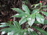 Costus pulverulentus  at Cerro Nara, Costa Rica  - Click to see full sized image
