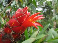 Costus pulverulentus  at Lankester Gardens, Costa Rica  - Click to see full sized image