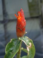 Costus pulverulentus at Tom Wood Nursery, Archer, FL  - Click to see full sized image