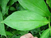Costus pulverulentus Dwarf Form near Puerto Jimenez, Osa Peninsula, Costa Rica Dwarf form with somewhat inflated ligules - Click to see full sized image