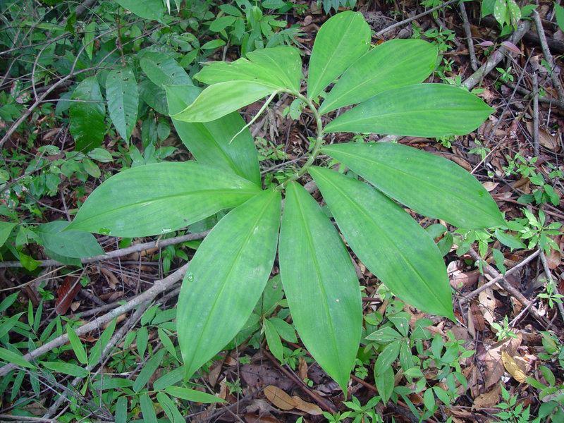 Photo# 11598 - Costus ricus on trail near Cerro Helado, Mogos, Osa Peninsula, Costa Rica leaves