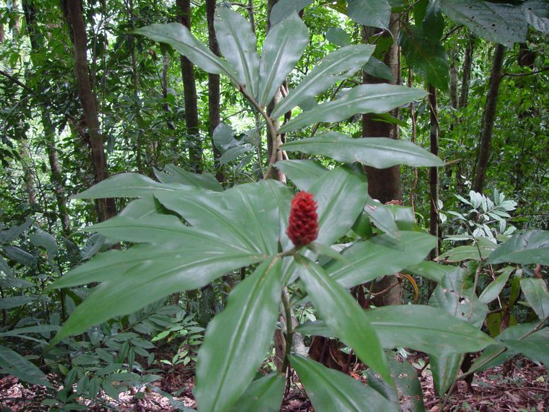 Photo# 11601 - Costus ricus on trail near Drake, Osa Peninsula, Costa Rica