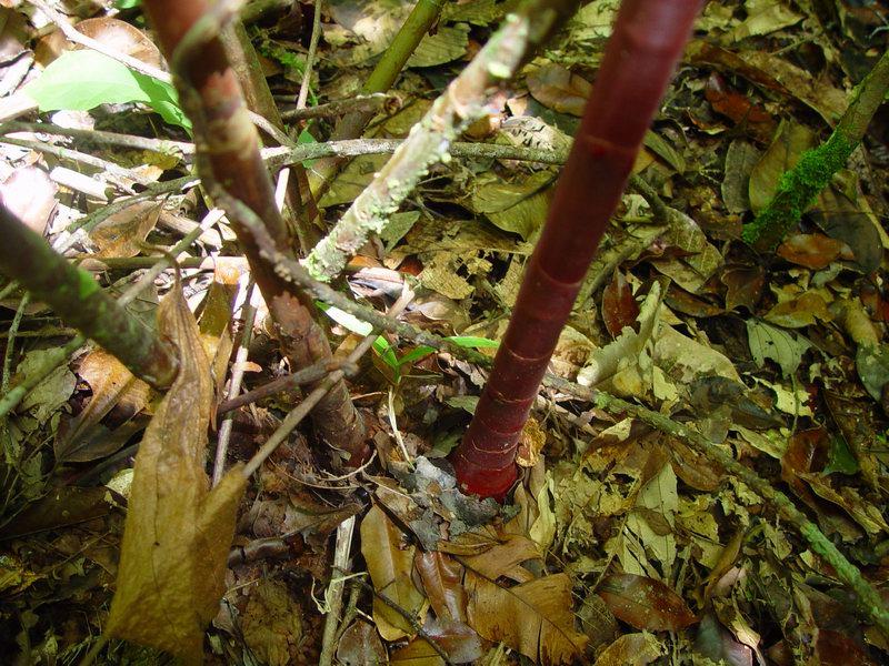 Photo# 11608 - Costus ricus on trail near Rancho Quemado, Osa Peninsula, Costa Rica base stems