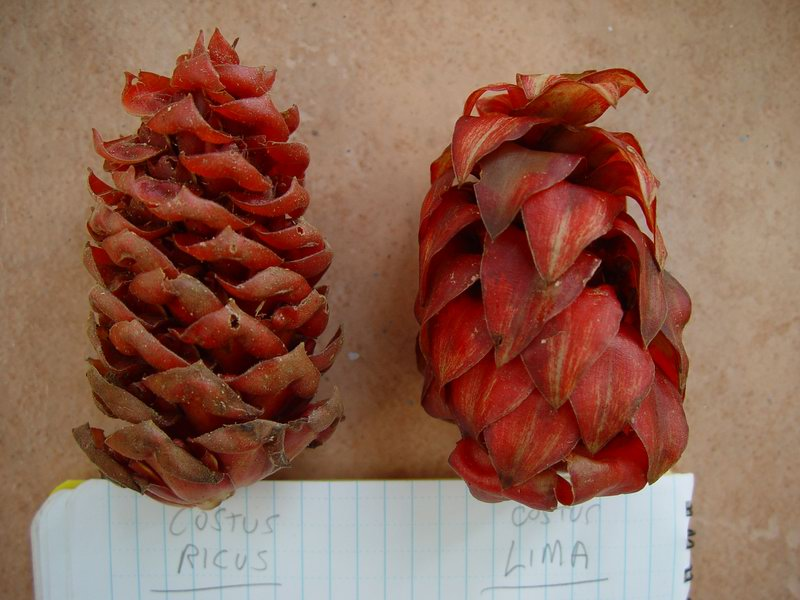 Photo# 11602 - Costus ricus from collections on Osa Peninsula, Costa Rica comparison of C. lima and