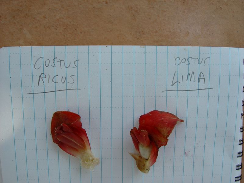 Photo# 11604 - Costus ricus from collections on Osa Peninsula, Costa Rica Bract with calyx and bracteole, comparison with C. lima