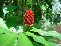 Costus ricus on trail near Cerro Helado, Mogos, Osa Peninsula, Costa Rica  - Click to see full sized image