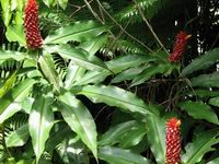 Costus ricus  at Cerro Nara, Costa Rica form with pendent, C. lima-type appendages - Click to see full sized image