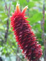 Costus ricus  at Cerro Nara, Costa Rica form with horizontal, cupped appendages - Click to see full sized image