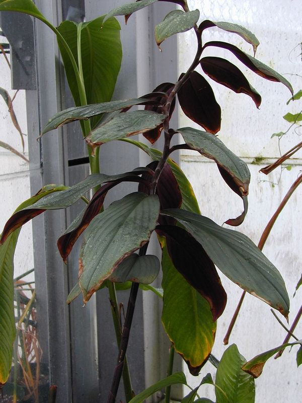Photo# 11611 - Costus erythrophyllus 'Grey Ghost' -  at Smithsonian US Bot. Research Greenhouse, Washington, DC