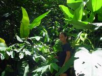 Costus scaber on trail near Mogos, Osa Peninsula, Costa Rica Eva Schembera spots another - Click to see full sized image